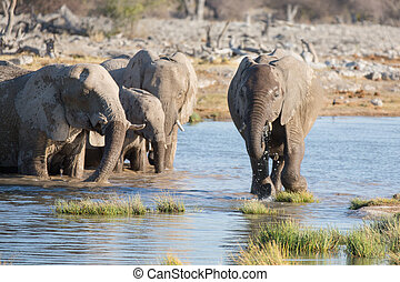 Elephants in Etosha - Group of elephants drinking water in...