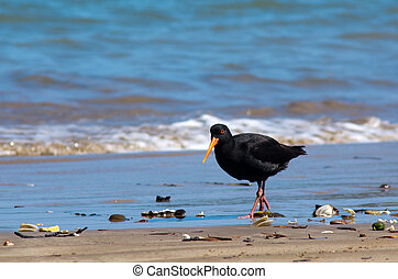 Oystercatcher looks for food on the beach.