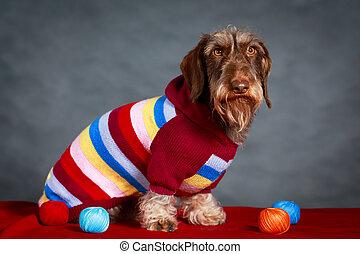 dachshund dog - wire-haired dachshund dog