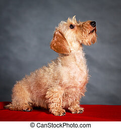 dachshund dog - wire-haired dachshund dog