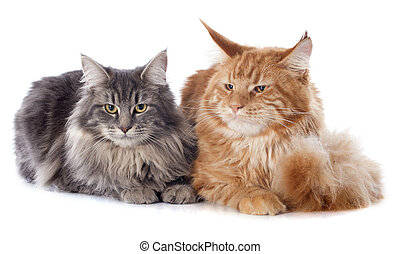 maine coon cats - portrait of purebred maine coon cats on a...