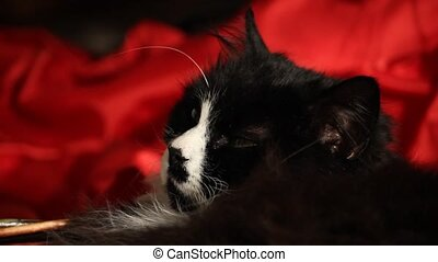 Yawning cat - A black and white cat is resting while lazily...