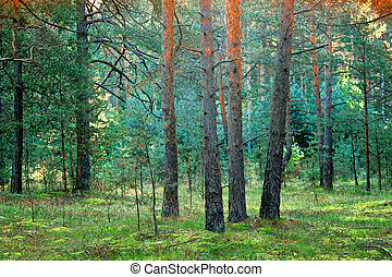 Coniferous forest - Thicket of coniferous forest in the...