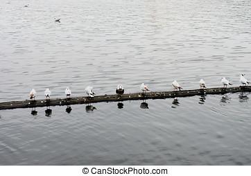 Group of seagulls on the Vltava