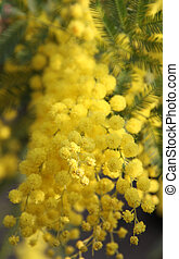 Yellow Mimosa to give women in the international women's day...