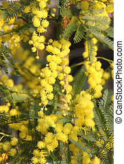 beautiful Yellow Mimosa to give women in the international...