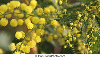 beautiful Yellow Mimosa to give women in the women's day on...