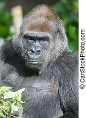 Western Lowland Gorillas in the wild