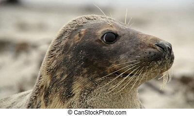 grey seal super close
