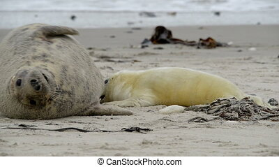 seal pup hunting for mothers milk