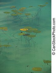 Lily Pond  - Water lily leaves in a shallow green pond