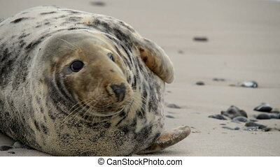 female grey seal close