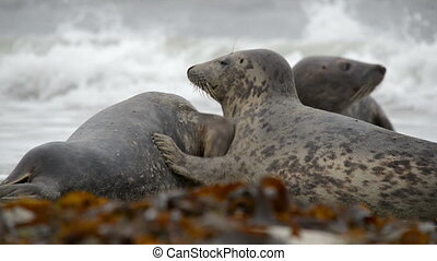 grey seals during love game