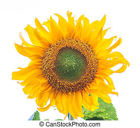 sunflower isolated on white - Macro of a beautiful sunflower...