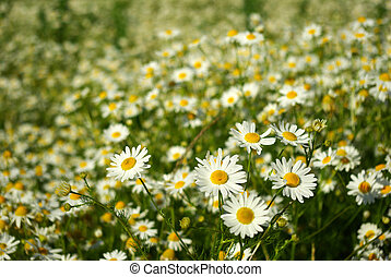 camomile - Blooming wild camomile flowers in the field