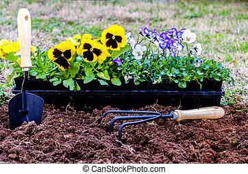 Planting Flowers - Planting flowers. Daisies and violas in...