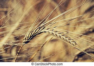 Wheat - Closeup of wheat ear in field