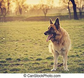 German Shepherd - German shepherd in the park