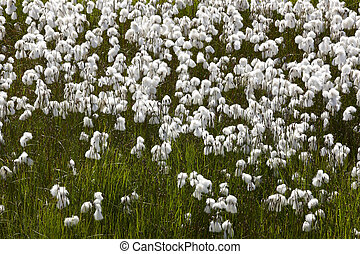 Arctic cotton-grass meadow in Iceland - Arctic plants...