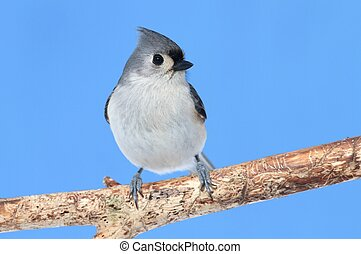 Bird On A Branch - Tufted Titmouse baeolophus bicolor on a...