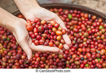 Red berries coffee beans - Close up red berries coffee beans...
