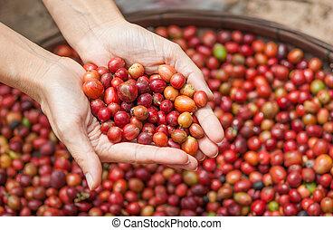 rojo, bayas, café, frijoles