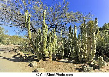 Montrose Totem Pole cactus in Boyce Thompson arboretum state...