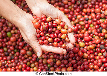 Red berries coffee beans on agriculturist hand - Close up...
