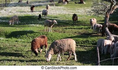 Sheep grazing on meadow, closeup