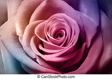 Beautiful colorful rose - Close up image of beautiful...
