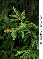 A fresh green fir bough on a dark background