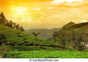 tea plantation landscape sunset