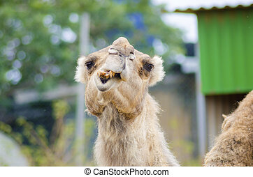 Arabian camel - A close up front view of an arabian camel...