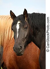 Black percheron stallion portrait in the herd - Beautiful...