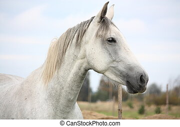 White horse at the pasture portrait - White horse at the...
