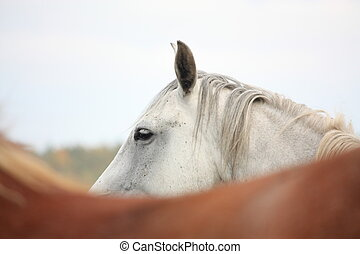 White horse at the pasture in autumn