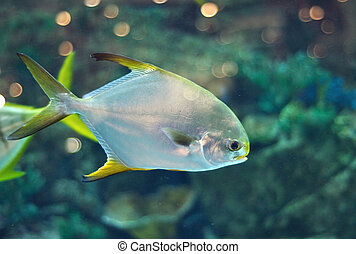 Fish similar to platax or Pomfret in salwater aquarium -...