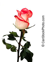 Single white-pink rose on a white background