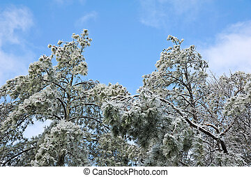 Ice Covered Pine Trees - Top of Ice Covered Pine Trees in...