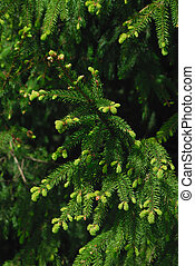 A fresh green fir bough on a dark background.