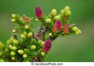 Small fir branch with small cones and fresh sprouts