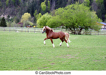 Welsh pony stallion in trot.