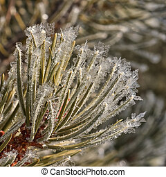 Frost on Pine Needles - Winter macro of frost on pine...