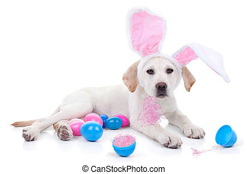 Easter Bunny Dog - Easter bunny Labrador puppy dog and...