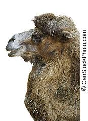 camello, perfil