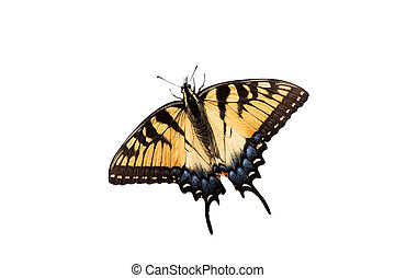 tiger swallowtail on a white background - tiger swallowtail...