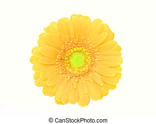 yellow gerbera isolated on the white background