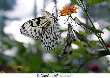 Butterfly, paper kite BU-2924 - Paper Kite or the Rice Paper...