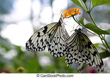 Butterfly, paper kite BU-2925 - Paper Kite or the Rice Paper...