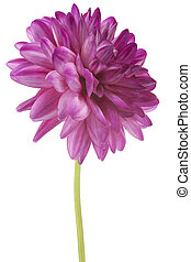 dahlia - Studio Shot of Fuchsia Colored Dahlia Flower...